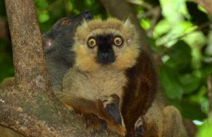 Lemuren1