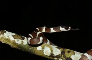 Stenophis spp.