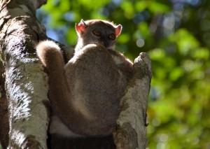 Ankarana sportive lemure