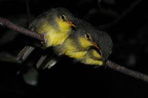 Vögel im Montagne d'Ambre