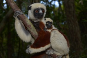 Coquerell-Sifakas