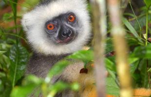 Diademsifaka in Madagaskar