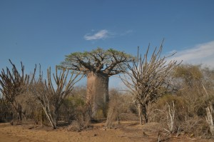 Lebensraum nahe Morombe mit Baobab und