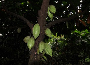 Kakao-Baum