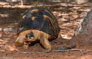 Reniala Schildkröte 2