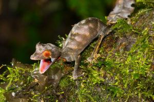 Uroplatus phantasticus aus Ranomafana