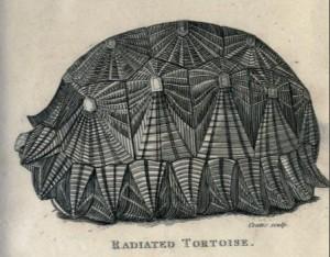 Zeichnung aus der Originalbeschreibung von George Shaw