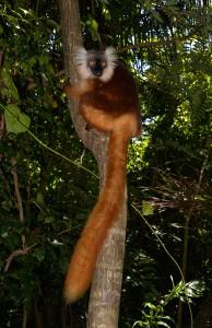 Ein Mohrenmaki-Weibchen