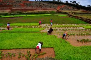 Die Reissetzlinge werden eingepflanzt