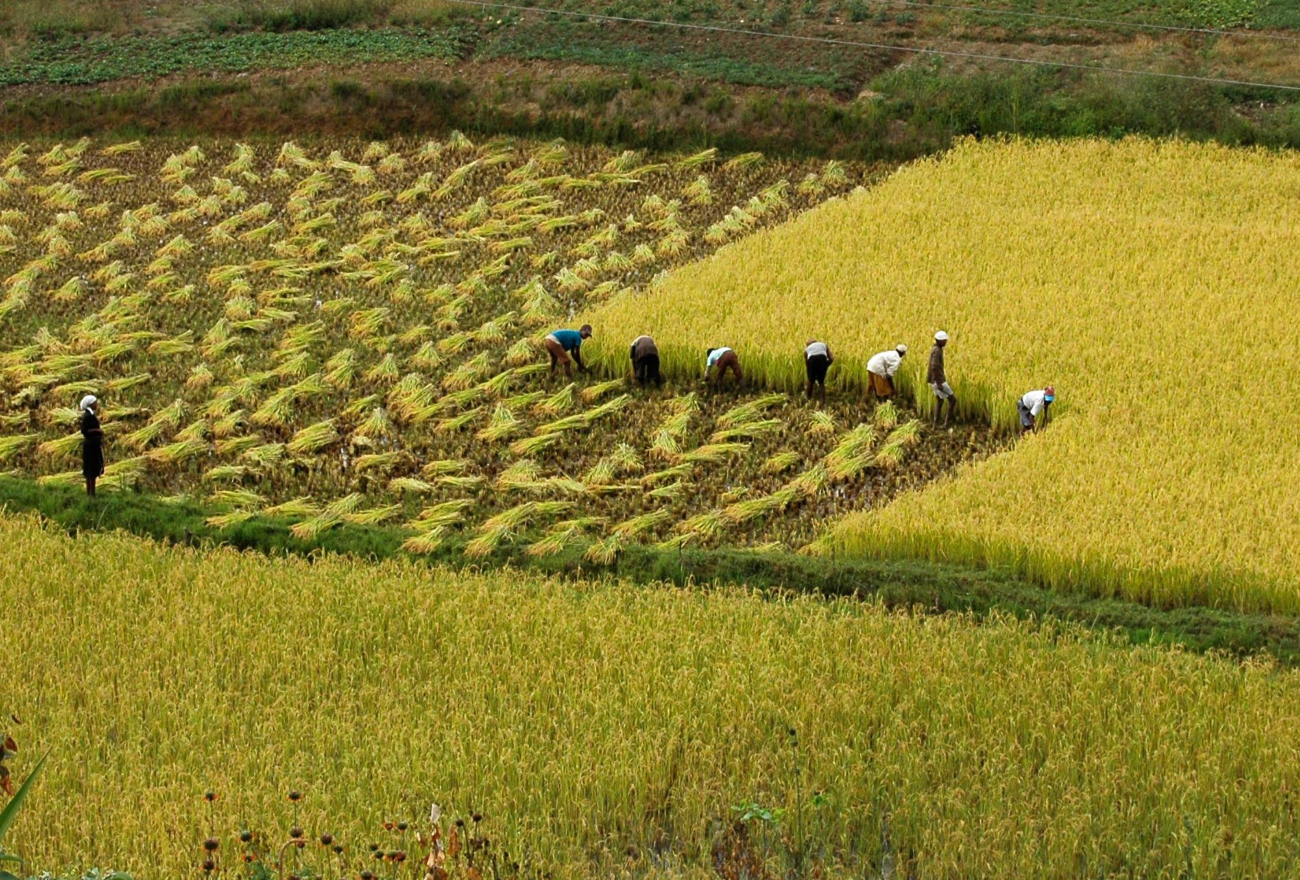 Reisanbau auf Madagaskar - MadaMagazine
