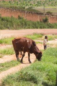 Zebu-Milchkuh-Mischling nahe Antananarivo