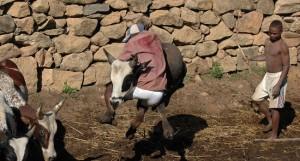 Zebu Rodeo