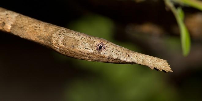 Phyllorhynchus decurtatus (Cope, 1868)