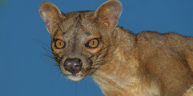 an extraordinary predator the fossa madamagazine