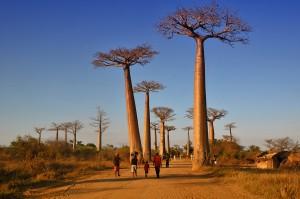 Baobab Adansonia grandidieri