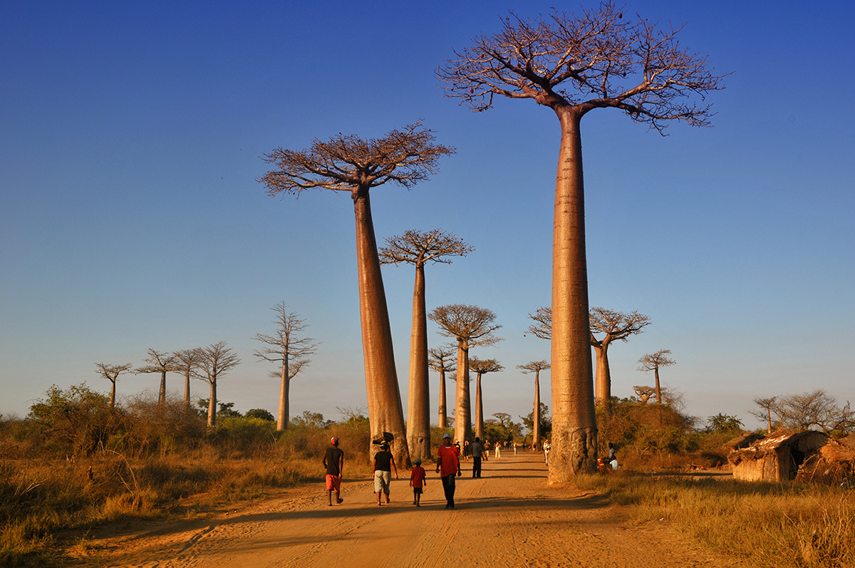 Plants At Home The Country Of Baobabs Madamagazine