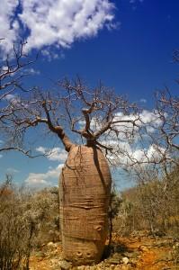 Baobab Adansonia rubrostipa