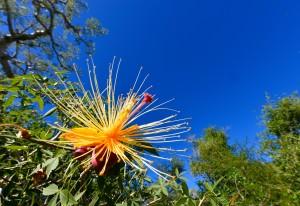 Baobab Blüte schön
