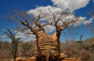Baobab Mutter des Waldes