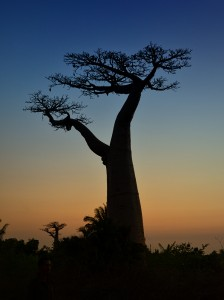 Baobabs Adansonia grandidieri Früchte