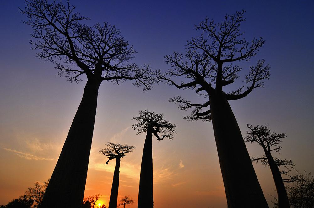 Baobabs Adansonia grandidieri Sonnenuntergang