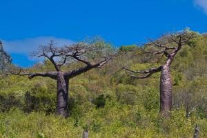 Baobabs Adansonia suarezensis
