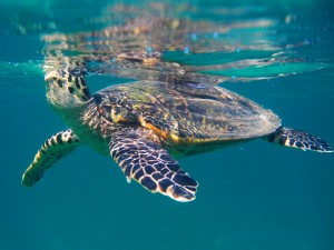 Nosy Tanikely Meeresschildkröte