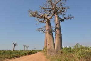 RN8 mit Baobabs