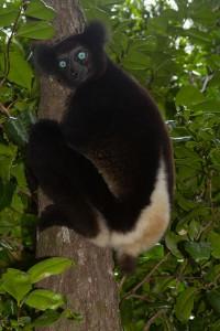 Indri blaue Augen