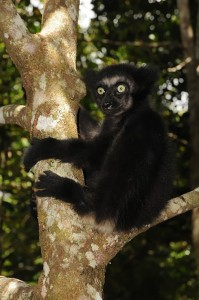 Indri baby