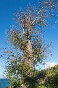 Baobab in Ankify