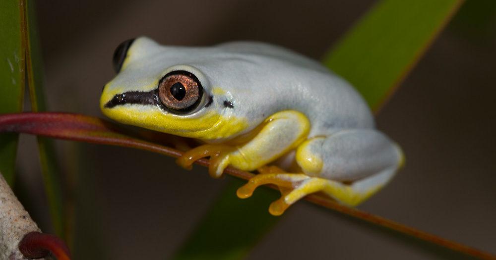 Früsche aus Madagaskar The sky blue reed frog – MADAMAGAZINE