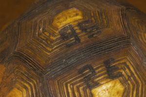Astrochelys yniphora