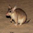 Kirindy jumping rat