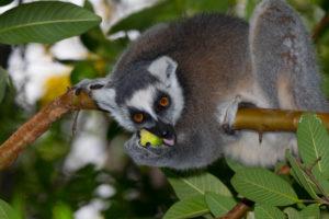 Katta frisst Frucht im Anja Reserve