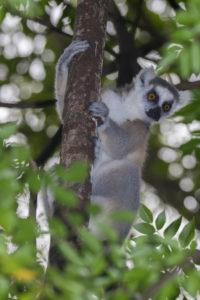 Katta im Anja Reserve schaut hinter Baum hervor