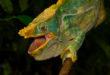 Calumma parsonii yellow lip aus Ranomafana