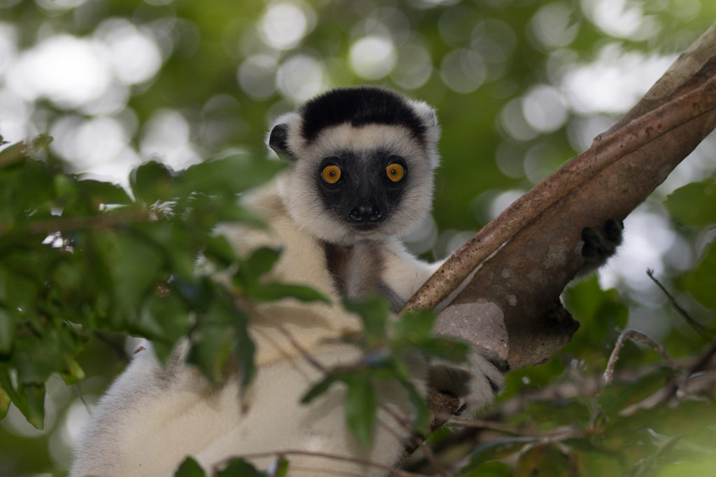 Larvensifaka in Kirindy