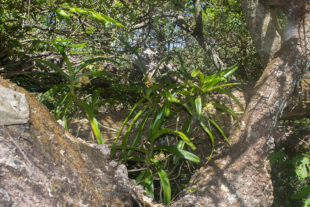 Orchidee, Acampe pachyglossa, in Ankarafantsika