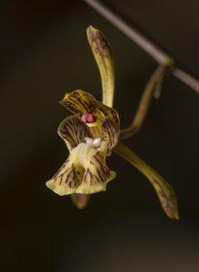 Orchidee aus Antsokay