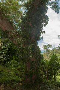 Pfefferranke am Baum, Ankify