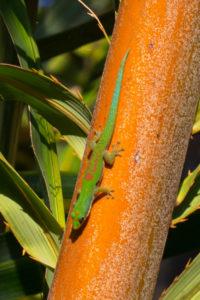 Streifentaggecko nahe Ampijoroa