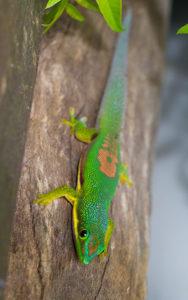 Streifentaggecko in Andasibe