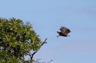 Seeadler Nosy Hara