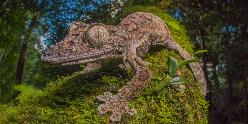 Perfectly camouflaged giants: Uroplatus giganteus – MADAMAGAZINE