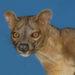 [:de]Ein außergewöhnliches Raubtier: Die Fossa[:en]An extraordinary predator: The Fossa[:]