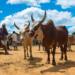 [:de]Madagaskars heimliches Wahrzeichen: Das Zebu[:en]Madagascar's secret emblem: The zebu[:]